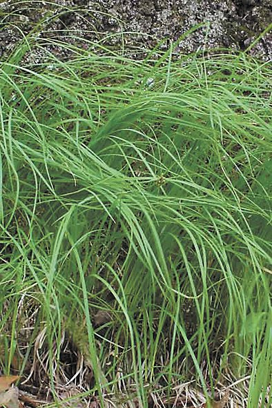 394Lawnpenngrass.jpg