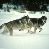 wcij-wolfhunt091112.jpg
