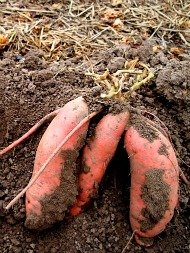 madisonsweetpotatoproject060313.jpg