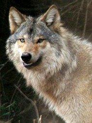 wolfhunt061913.jpg