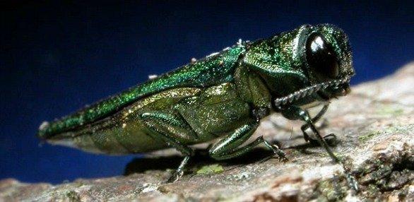 madland-emeraldashborer120413.jpg