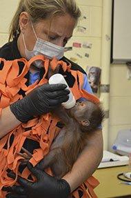 News-Keju-Orangutan-Caregiver190px-crHenryVilasZoo-08202015.jpg