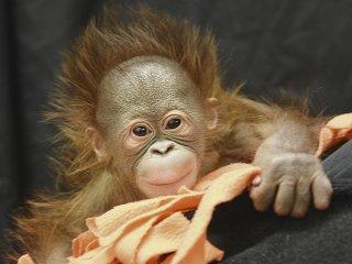 News-Keju-Orangutan-crHenryVilasZoo-08202015.jpg
