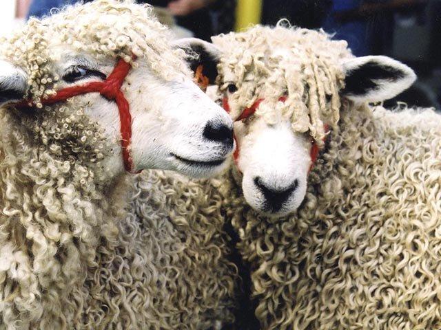 Emphasis-WisconsinSheep&WoolFestival-08272015.jpg