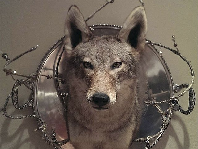Emphasis-Taxidermy-Coyote-11192015.jpg