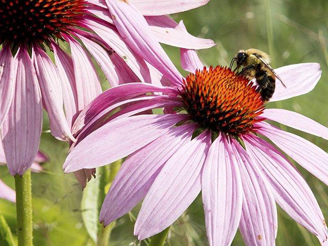 News-Pollinators-Bee-crSevie Kenyon-UW-Madison-CALS-01282016.jpg