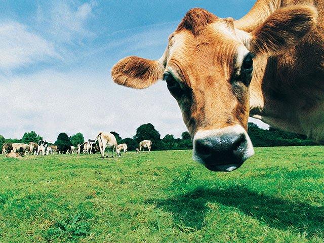 Food-Cow-03312016.jpg