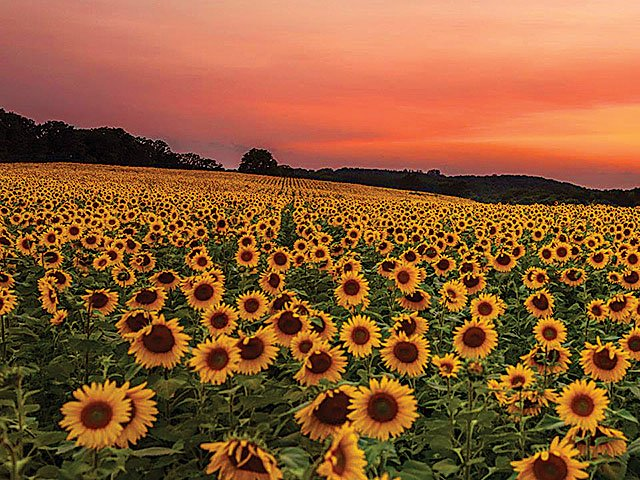 Matrix-Sunflowers-07282016.jpg