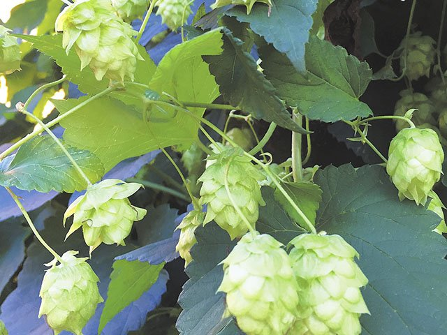Beer-Hops-crCarolynFath-10132016.jpg