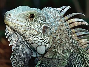 WIR-Iguana-290w-11102916.jpg