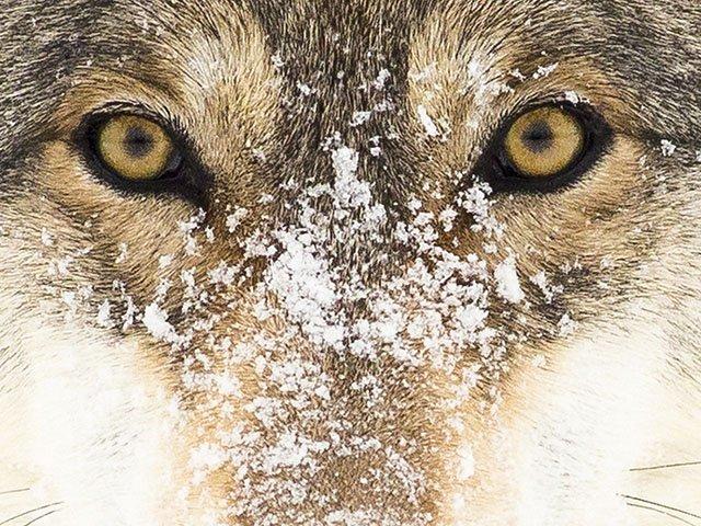 Cover-Grey-Wolf-TEASER-03162017.jpg