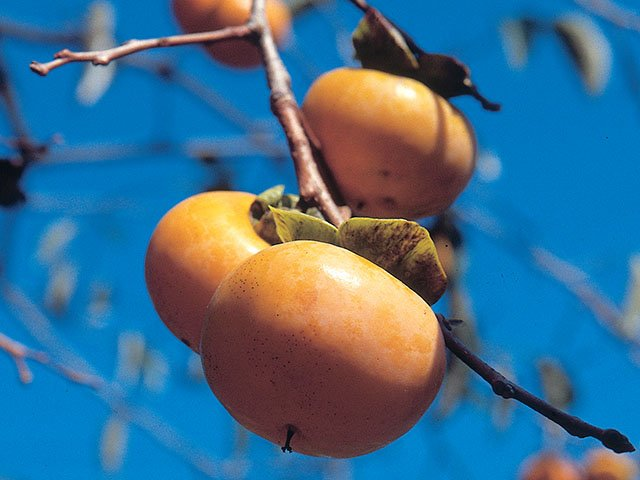 Emphasis-Emily-Plants-persimmon-tree-03302017.jpg