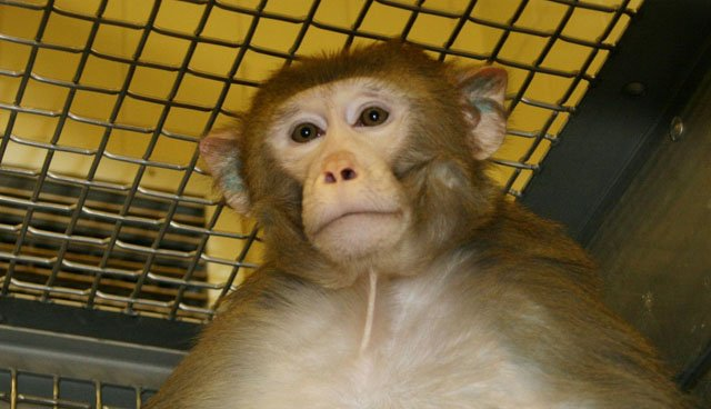Cover-rhesus-macaque-research-monkey-crWisconsinNationalPrimateResearchCenter-07062017.jpg