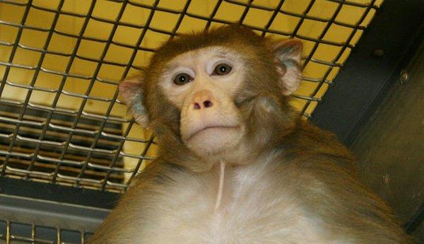 Cover-rhesus-macaque-research-monkey-crWisconsinNationalPrimateResearchCenter-07062017.jpg