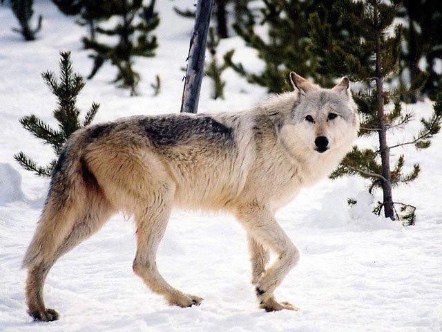News-Wolf-Update_crUSFish&WildlifeService08172017.jpg