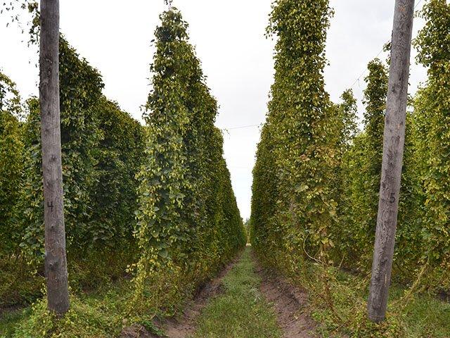 Drinks-Gorst-Valley-Hops-crDylanBrogan-10052017 3.jpg