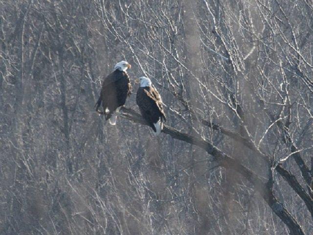 calendar-bald-eagles-cr-DNR.jpg