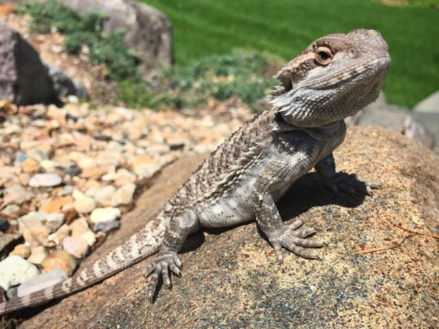 News-Bearded-Dragon-Lizard-crMasonMuerhoff-05242018.jpg