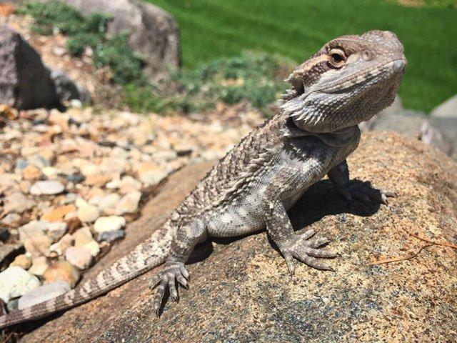 News-Bearded-Dragon-Lizard-crMasonMuerhoff-05242018.jpg