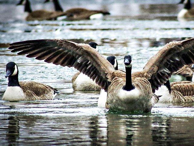 News-Geese-06212018.jpg