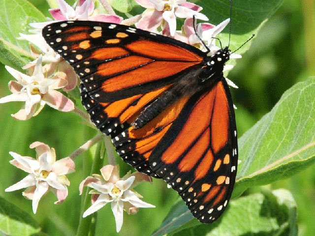 Emphasis-Monarch-crUSFishWildlifeService-06282018.jpg
