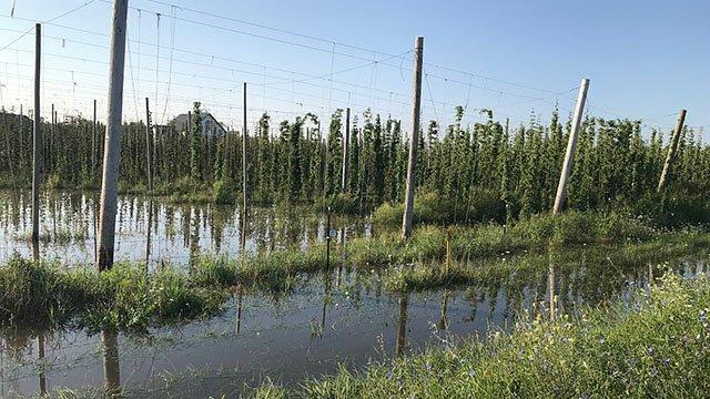 Beer-Hop-Garden-hop-yard-flood-crRichJoseph-08302018.jpg