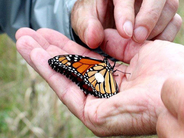 Snapshot-Monarch-tag-teaser-crLindaFalkenstein-10112018.jpg