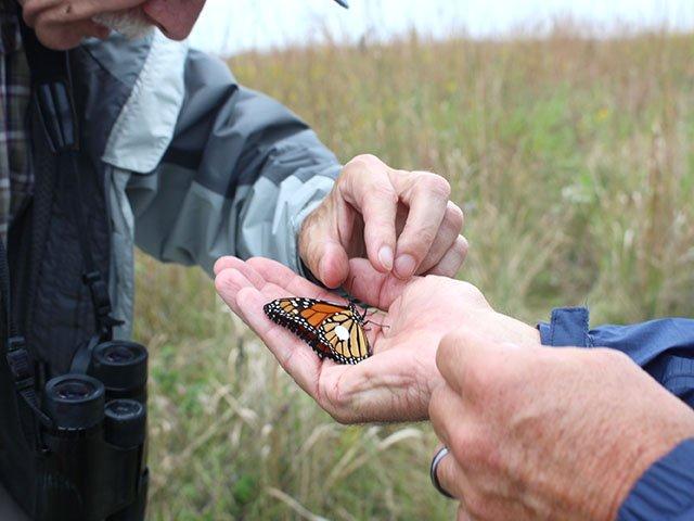Snapshot-Monarch-tag-crLindaFalkenstein-10112018.jpg