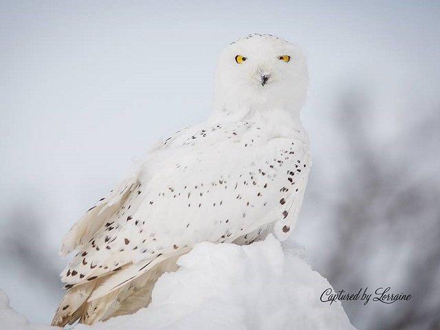 calendar-Snowy-Owl.jpg