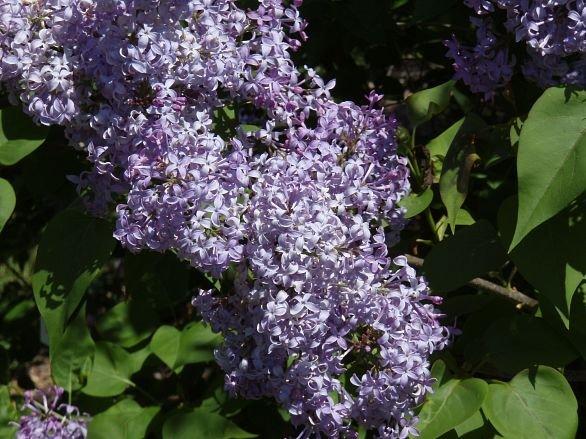 lilacs052108a.jpg