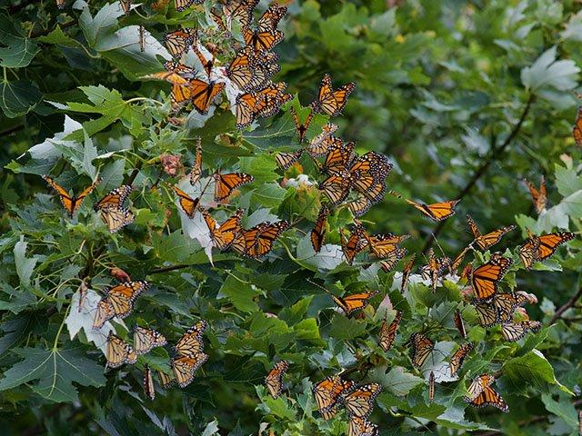News-Monarchs-crArleneKoziol-09192019 2.jpg