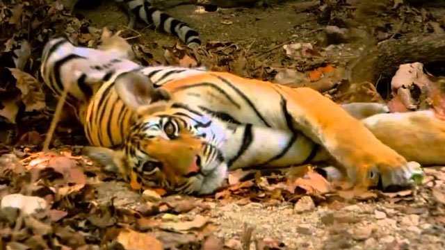 Screens-Cats-Tiger-Spy-in-the-Jungle-11282019.jpg