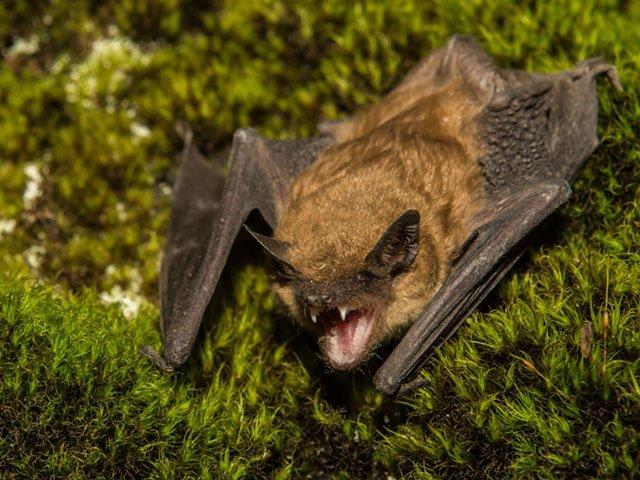 News-Brown-Bat-crGettyImages-03122020.jpg