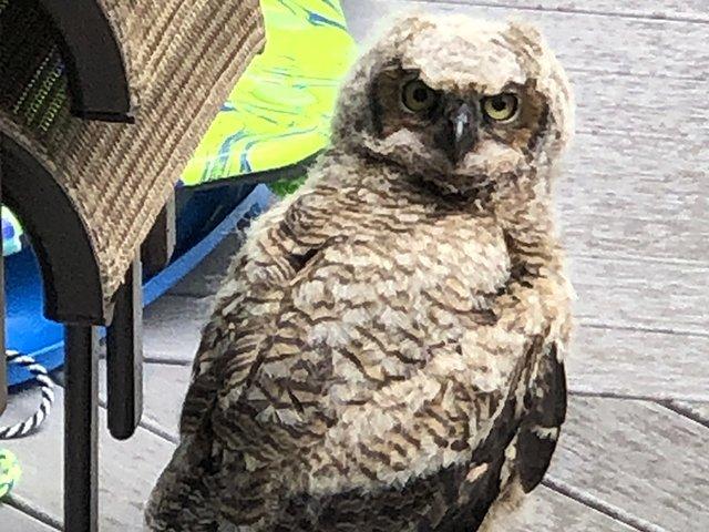 Piper the owl
