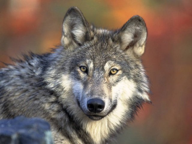 Delisting wolves will mean an increase in illegal killing