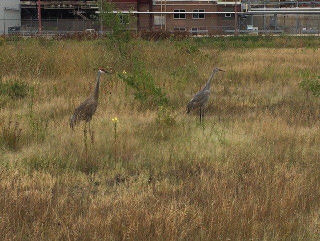 calendar-sandhill-cranes-bk.jpg