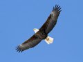 calendar-Bald-Eagle-cr-Ryan-Brady-DNR.jpg