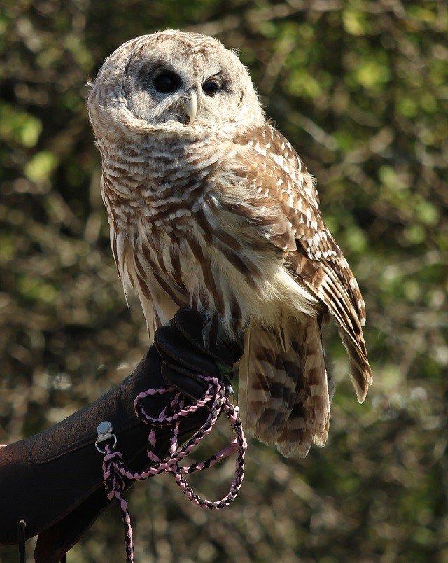 calendar-Radar-Barred Owl-cr-open-door.jpg