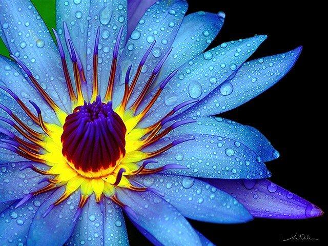 calendar-Jon-Walton-Blue-Beauty-Waterlily.jpg